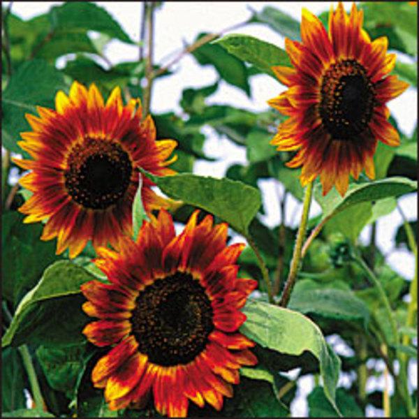 Siempreverde semillas org nicas de flores for Plantas para huerta organica