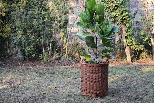 Ficus Lyrata con canasto de mimbre