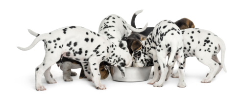 alimento natural para perros Kachorro