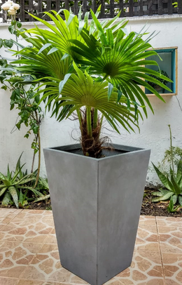 Palmera Washingtonia, Agotada