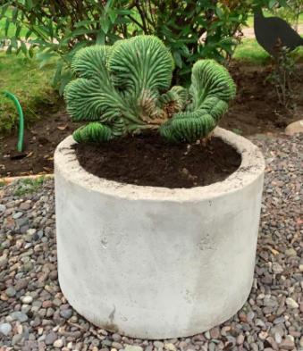 Macetero cilíndrico de hormigón con cactus cerebro